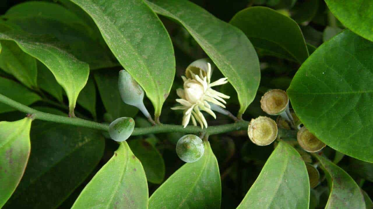 Native guava - Eupomatia laurina #1