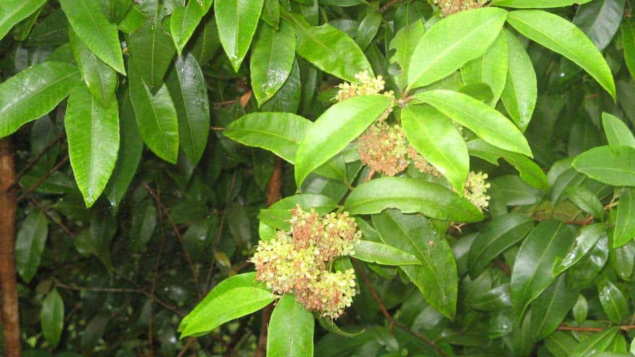 Lemon Myrtle - Backhousia citriodora #1