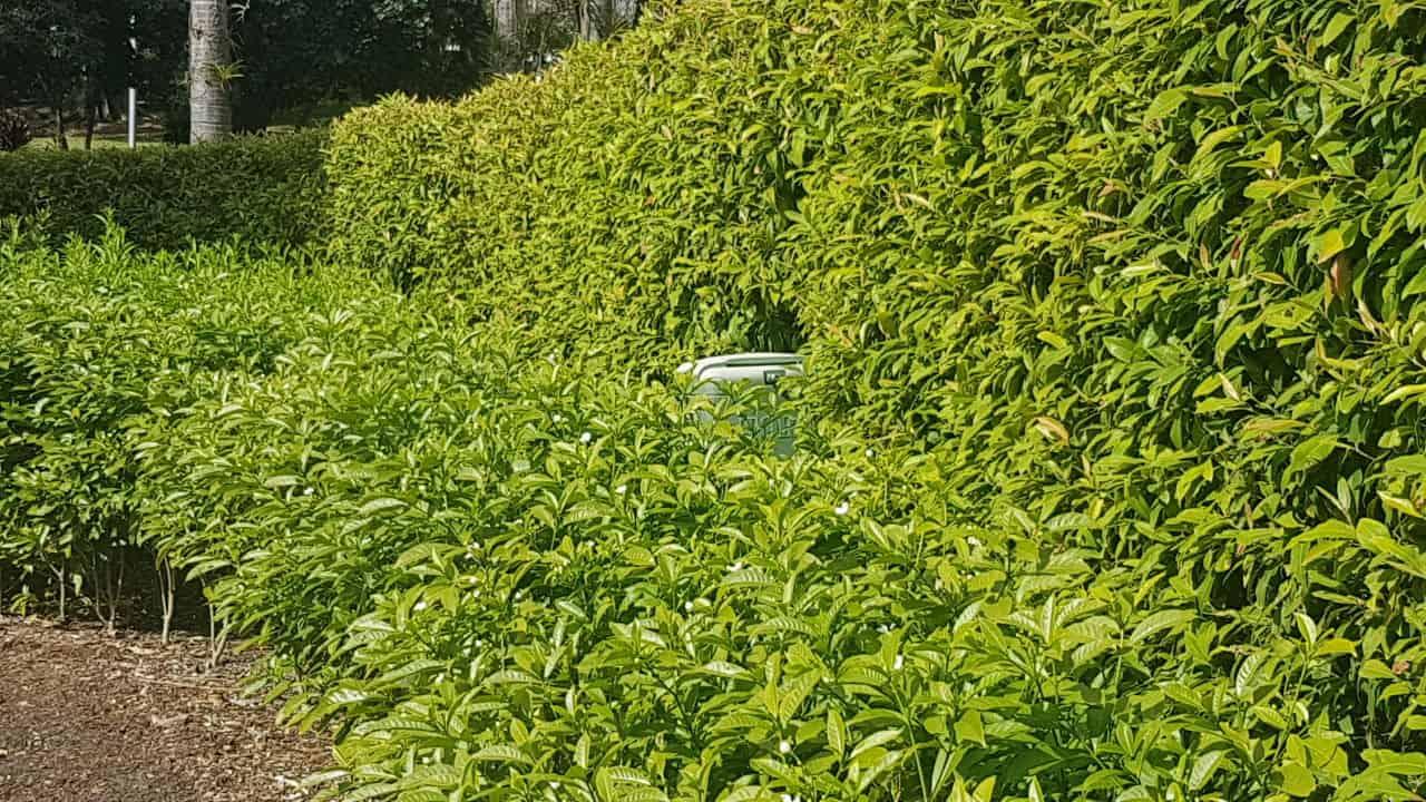 Lemon Myrtle - Backhousia citriodora #2