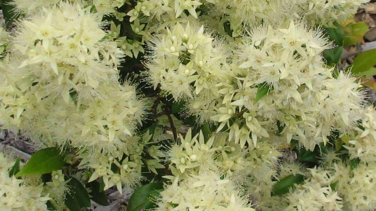 Aniseed Myrtle - Syzygium anisatum #1