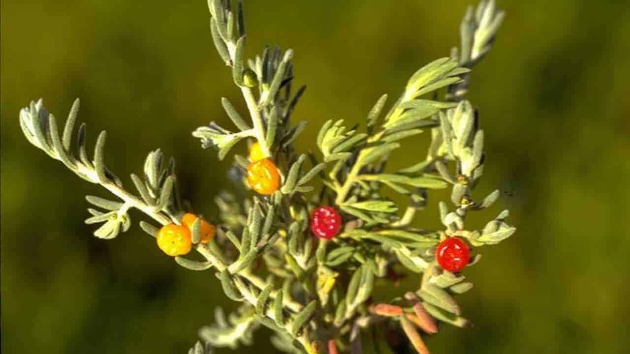 Ruby Saltbush - Enchylaena tomentosa #1