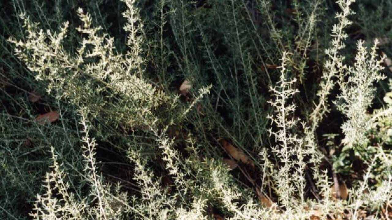 Ruby Saltbush - Enchylaena tomentosa #2