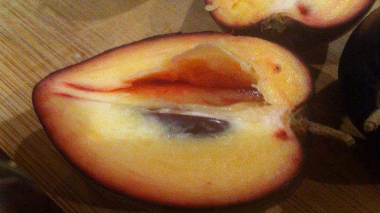 Black apple - Pouteria australis #1