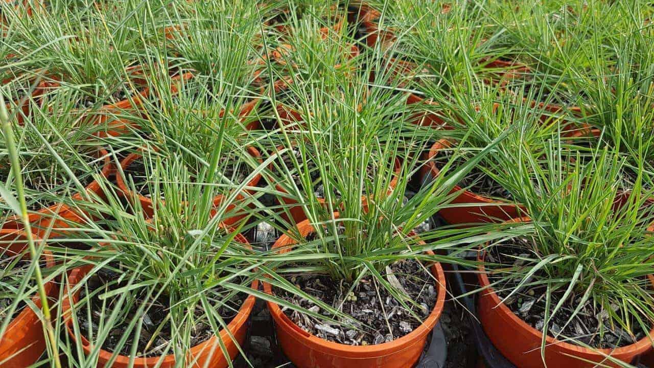 Native Lemongrass - Cymbopogon ambiguus #2