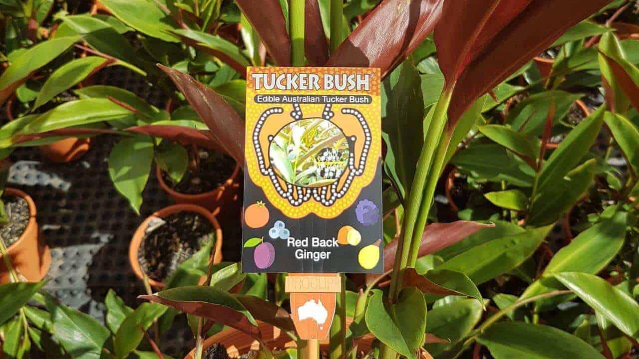 Red Back Australian Ginger - Alpinia caerulea 'Atherton' #4