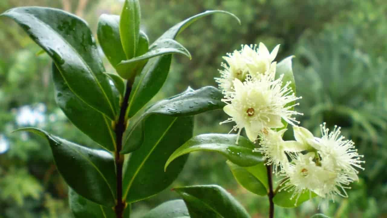 Cinnamon Myrtle - Backhousia myrtifolia #1