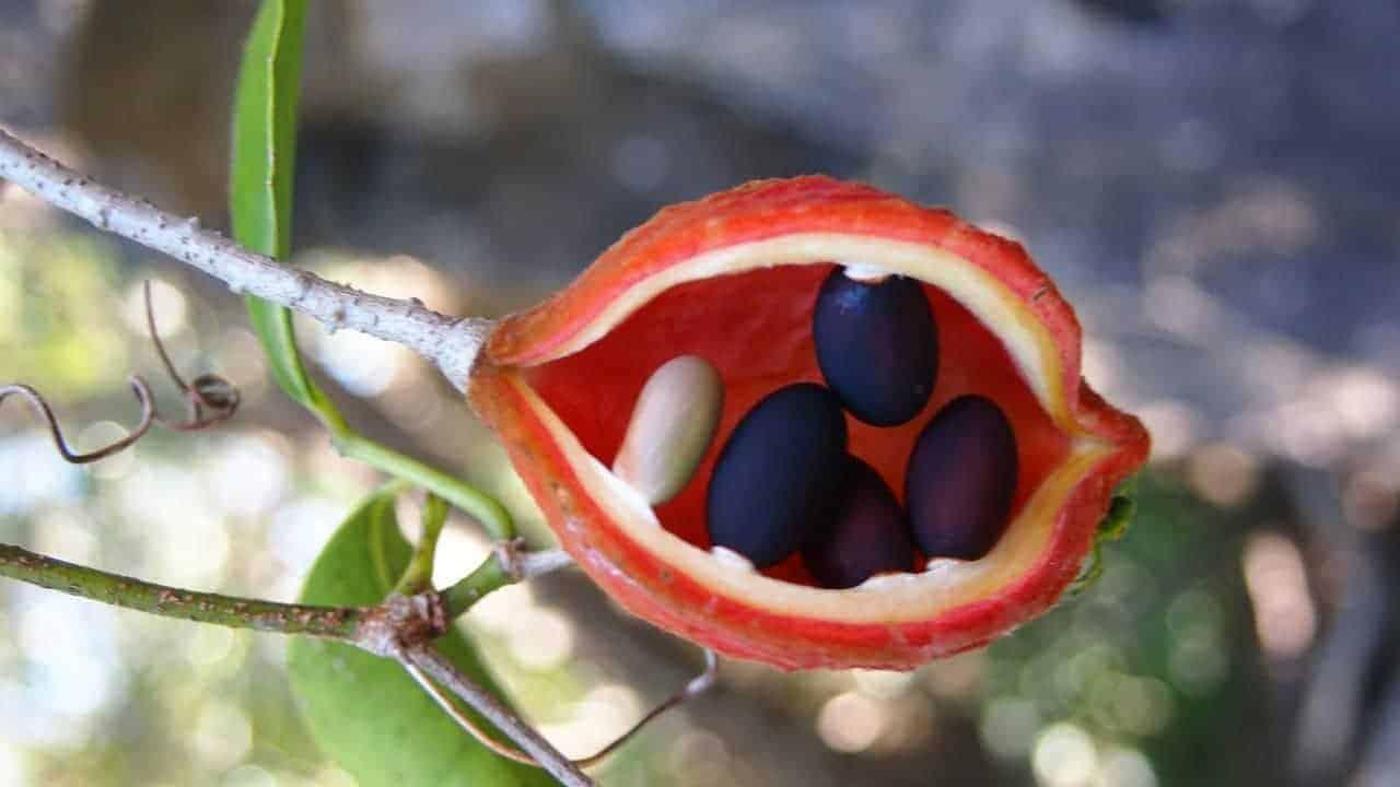 Peanut Tree - Sterculia quadrifida #1