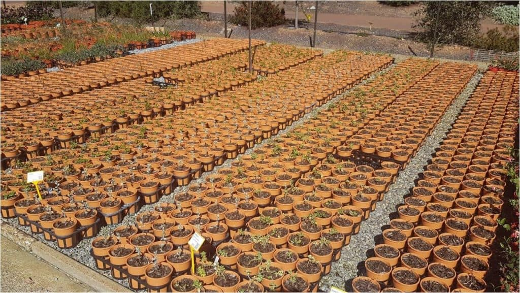 "Tucker Bush ""Herb & Veggie"" babies in 140mm pots basking in the sun"