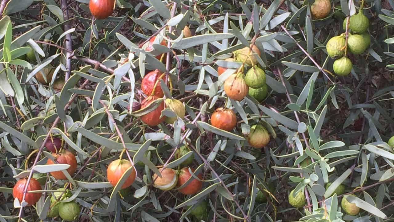 Sandalwood - Santalum spicatum #1
