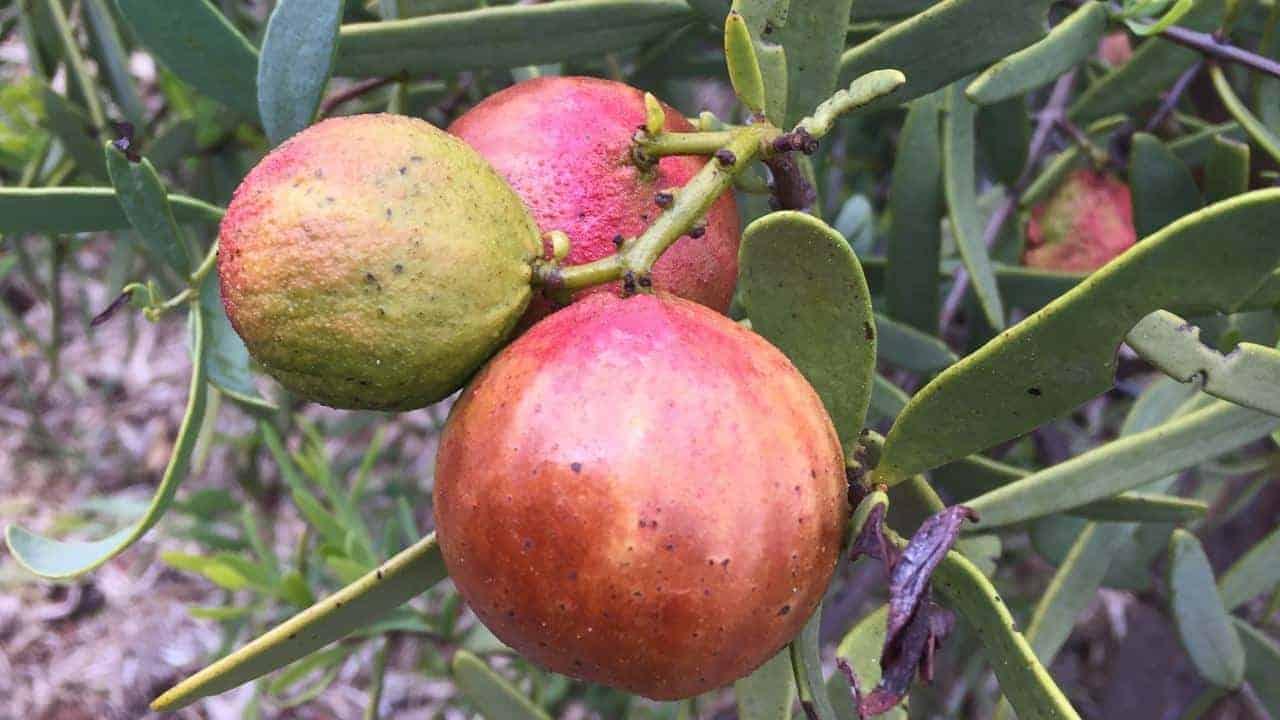 Sandalwood Nut - Santalum spicatum - Tucker Bush