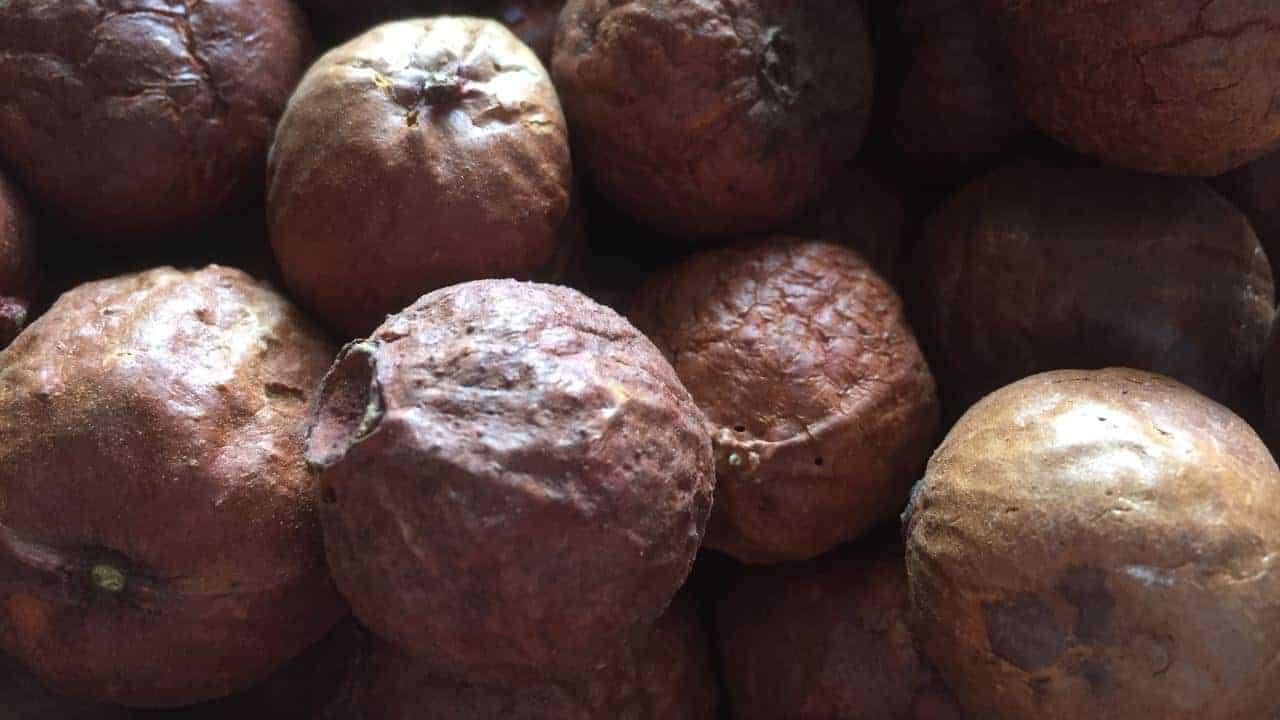 Sandalwood - Santalum spicatum #4