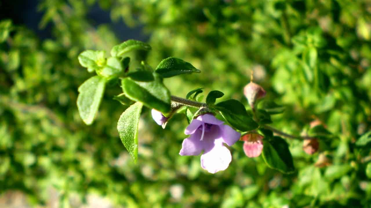 Native Thyme - Prostanthera incisa #1