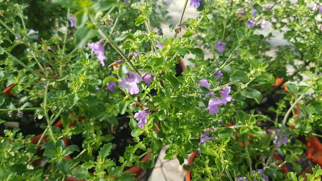 Native Thyme - Prostanthera incisa #2
