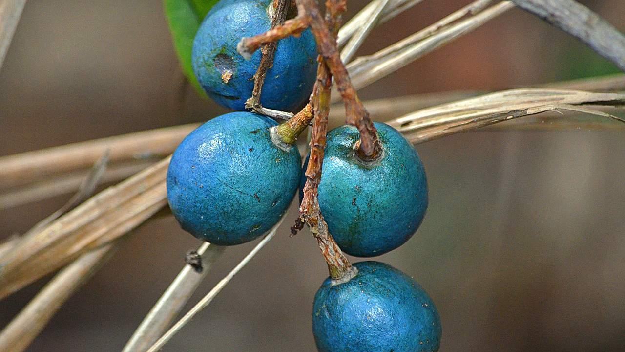 Blue Quandong - Elaeocarpus angustifolius #1