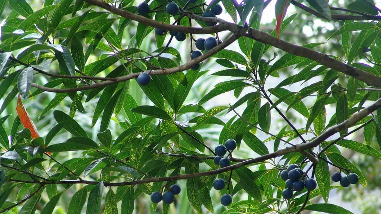 Blue Quandong - Elaeocarpus angustifolius #2