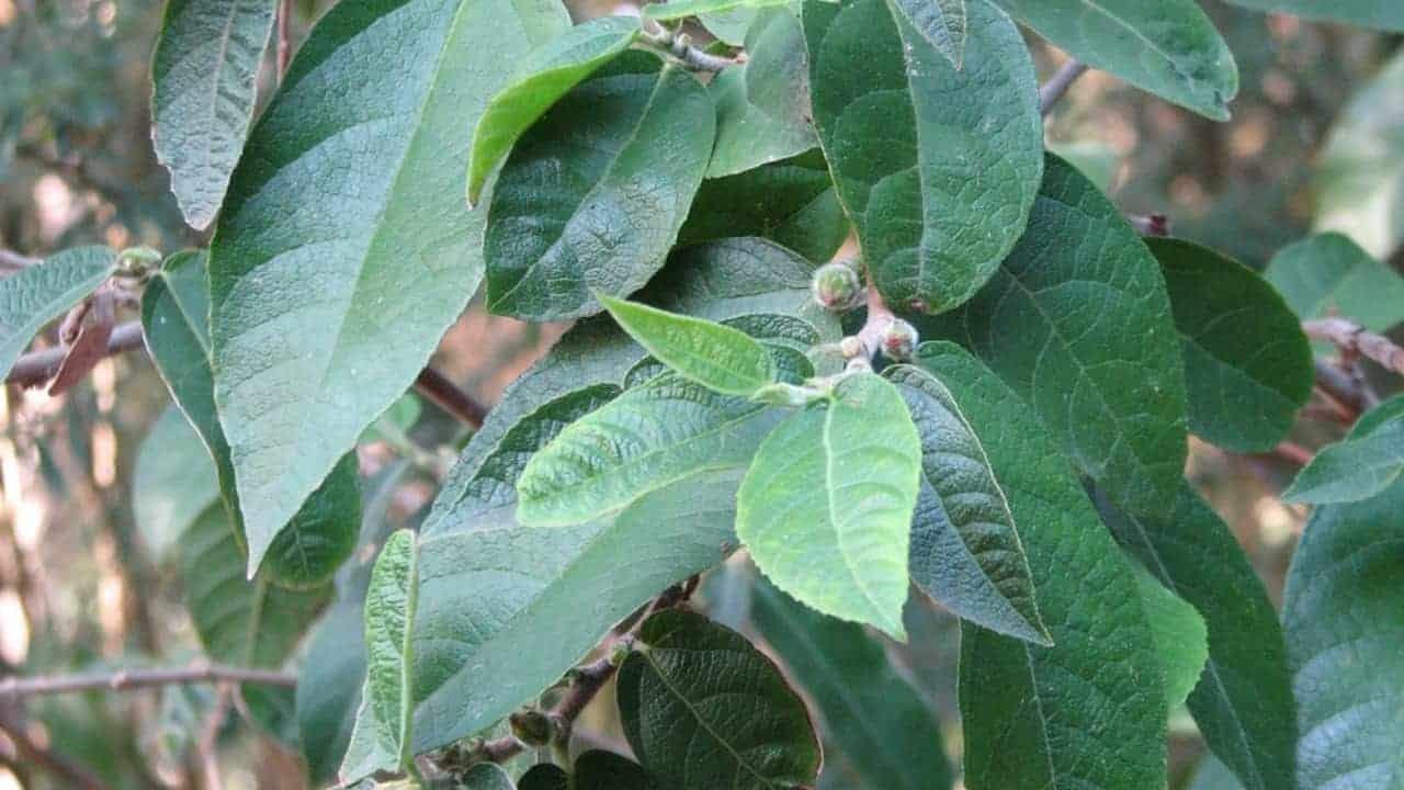 Sandpaper Fig - Ficus coronata #2