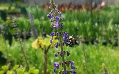 Pollinator friendly Tucker Bush plants. Here's 10 perfect suggestions for your native edible garden